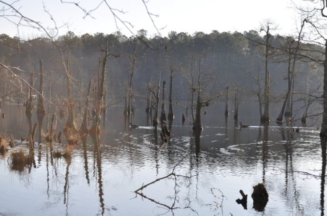 Goose paddling contentedly in the swamp