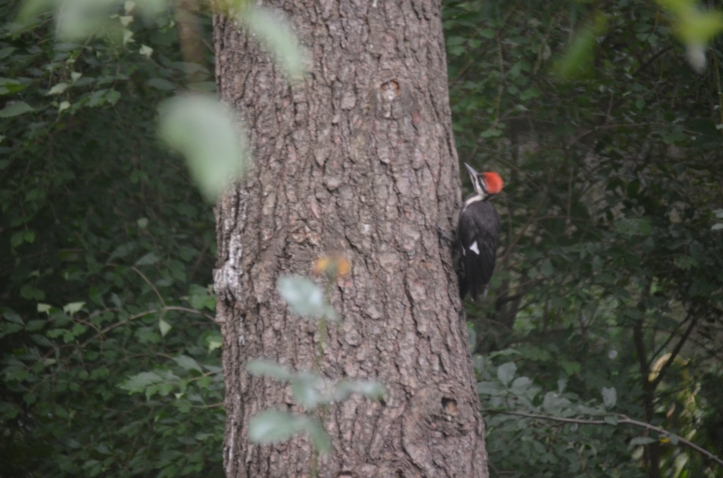 Juvenile pileated... note the funky crest!