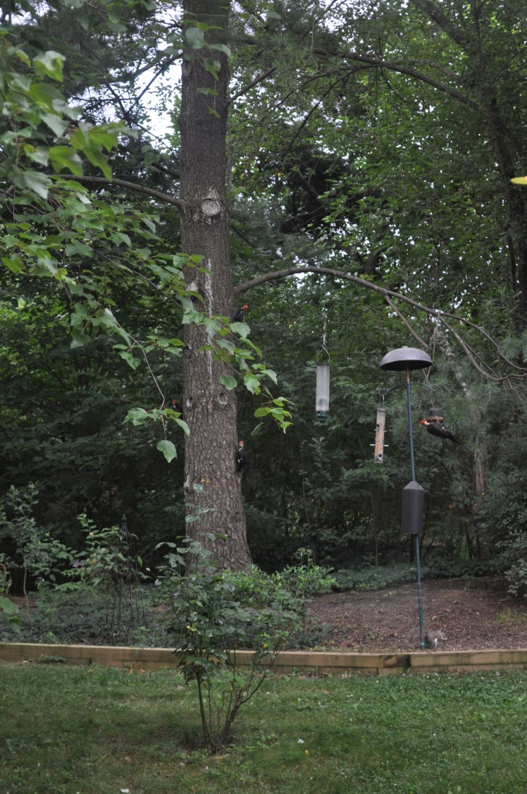 4 Pileated Woodpeckers: 1 adult (on feeder) and 3 juveniles