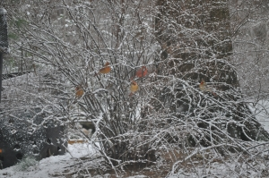 Cardinals in my yard.
