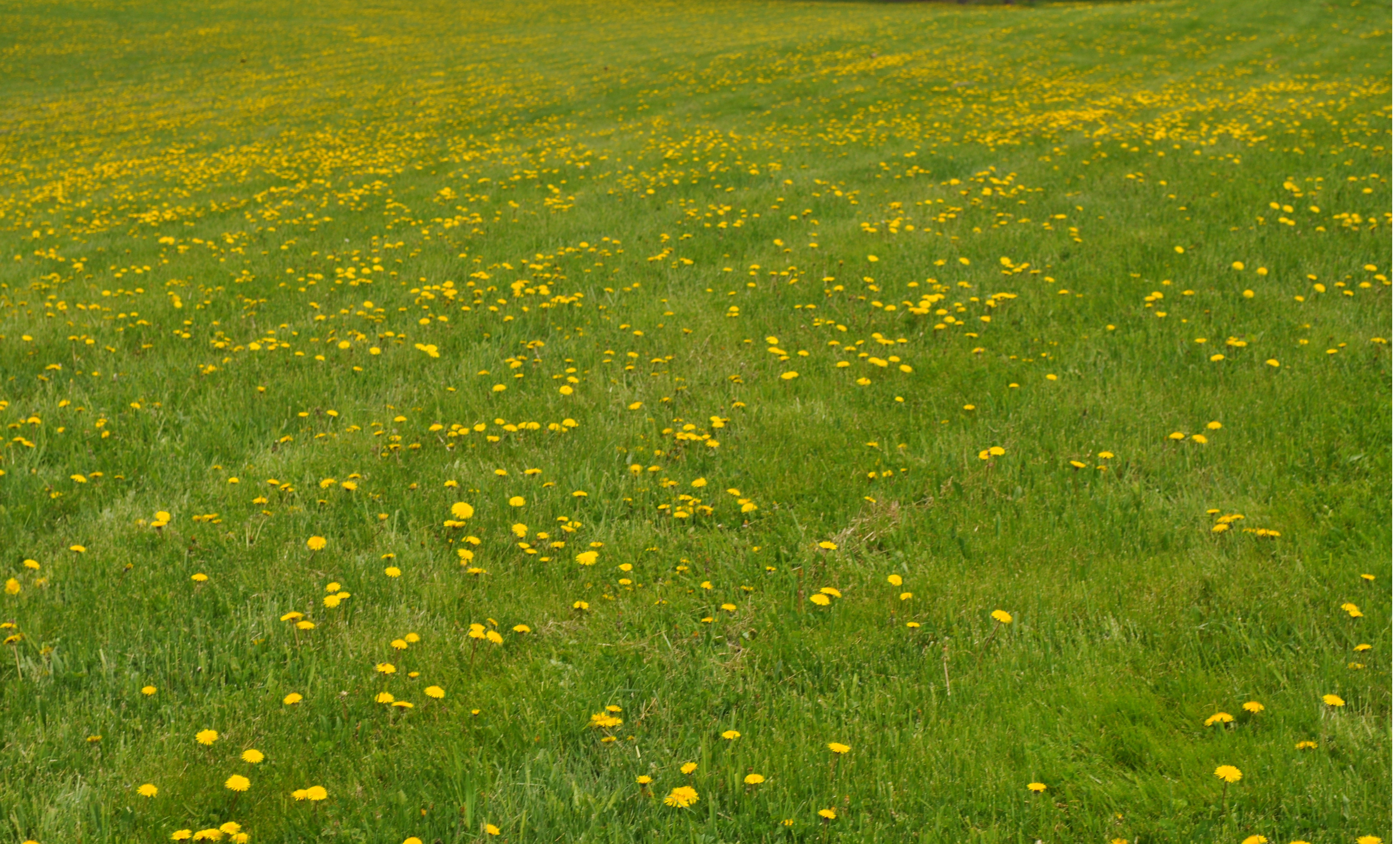 Fields of Grace and dandelions An Unfinished Symphony