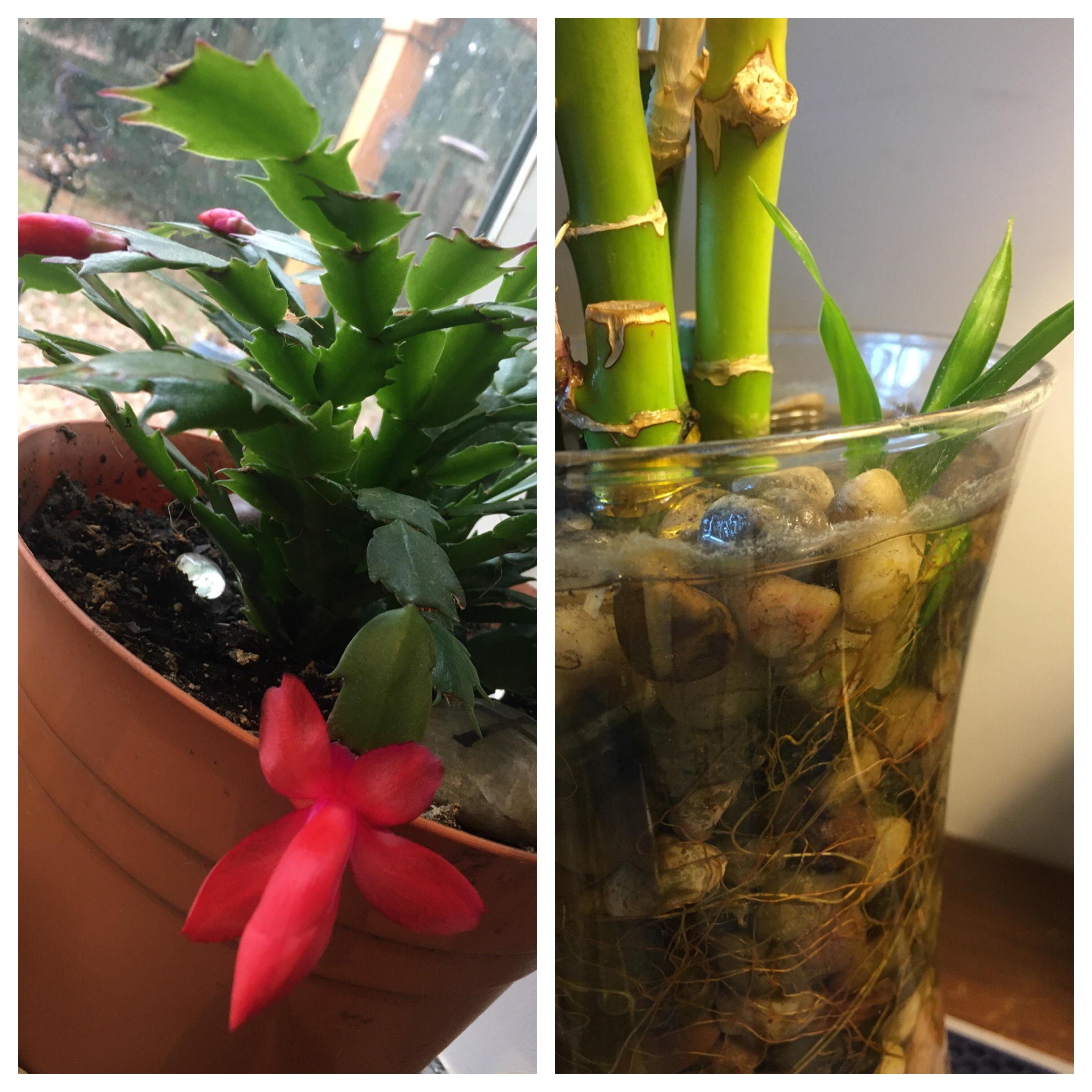 A red Christmas cactus and a new shoot on a bamboo plant